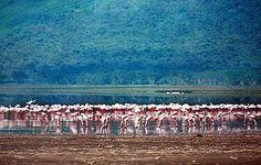 Flamingos of Lake Victoria