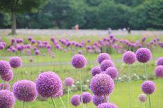 """These flower of June  called """"Hananegi"""" in Japan."""