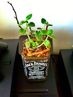 Jack Daniels bottle pot succulents