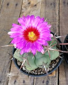 THELOCACTUS VARIETY MIX exotic mixed cacti rare flowering cactus seed 25 SEEDS