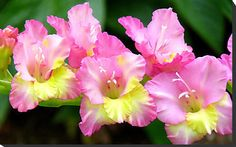 Gladiolus meaning strength of character would love this as a tattoo