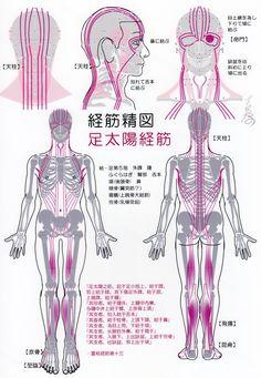 足太陽経筋(Ver2017) -Muscle meridian, Zu taiyang(Ver2017)-