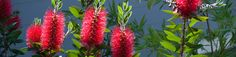 A little something from home blooming in in the garden of Ebisu's Kyoto International Guesthouse ... Bottlebrush bush (Australia)