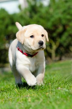 Todays Cuteness :) (via / Ready or not here I come. by Harold) Cute Baby Dogs, Cute Little Puppies, Cute Dogs And Puppies, Doggies, Cute Labrador Puppies, Cute Teacup Puppies, Cute Funny Animals, Cute Baby Animals, Raza Labrador