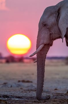 African elephant in the sunset Beautiful Creatures, Animals Beautiful, Cute Animals, African Elephant, African Animals, African Safari, Elephas Maximus, Elephants Never Forget, Elephant Love