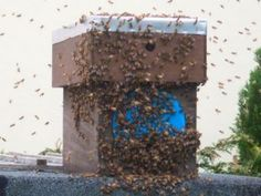 A 'Swarm Trap' set by a beekeeper, with a swarm of honey bees entering the hive in the Cornish Westcounty.
