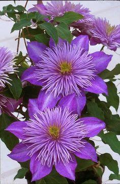 Blue Flower Beautiful clematis