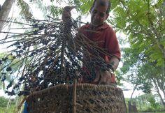 Pesquisa da Embrapa está desenvolvendo o 'super' açaí da Amazônia