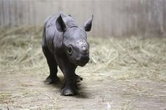An Eastern black rhino baby was born this week at Chicago's Lincoln Park Zoo.  This is the second time this month a black rhino baby was born in the USA. http://www.examiner.com/article/second-endangered-black-rhino-baby-is-born-this-month-the-united-states?cid=db_articles