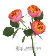 Summer Sangria Spray Garden Rose - 4 bunches $13.75/centerpiece (approx. 8 centerpieces) $109.99