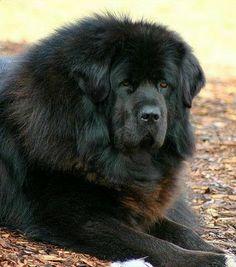 The traits we like about the Courageous Awesome Mastiffs Mastiff Dog Breeds, Hound Dog Breeds, Big Dog Breeds, Huge Dogs, Giant Dogs, Coyotes, Akita, Dogue Du Tibet, Tibetan Mastiff Dog