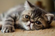 "Little Kitten by Profile Portrait Photography, via  Flickr ♥✮✮""Feel free to share on Pinterest"" ♥ღ www.CATSANDME.COM"