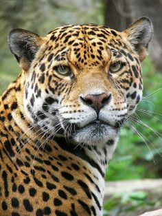 Now to where it is warmer... jaguar.