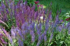 Salvia 'Blue Hill', Salvia 'May Night'. Geranium Rozanne, Alchemilla Mollis, Blue Hill, How To Attract Birds, Drought Tolerant, Geraniums, Deep Blue, Garden Plants, Gardening Tips