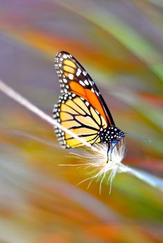 monarch by Elissar Khalek on 500px*