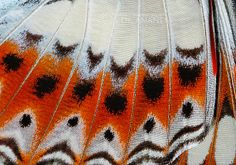 Commander Butterfly Wing by Dr.Anand Narvekar, via Flickr
