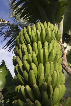 A banana plantation in Gran Canaria