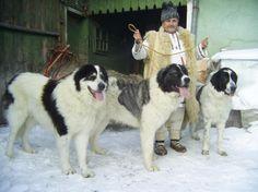 Bucovina Shepherd Dog Large Dog Breeds, Large Dogs, Visit Romania, Giant Dogs, Mastiff Dogs, Livestock, Shepherd Dog, Dogs And Puppies, Doggies
