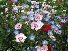 Old-Fashioned Pinks ... growing with Nemophila menziesii and Papaver rhoeas