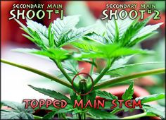 Guide to Topping, Training & Pruning Marijuana Plants | Grow Weed Easy