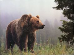 Best Grizzly Bear Wallpaper Hd Resolution #grizzly #bear