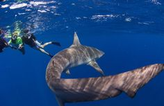Is swimming with sharks on your bucket list? Here are the best places to get up close and personal with tiger, whale, hammerhead and even great white sharks. Scuba Travel, Hawaii Travel, Great White Shark Diving, Oahu Hawaii, Snorkeling, Scuba Diving, The Great Outdoors, The Good Place, Sharks