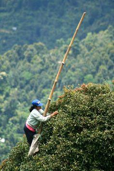 Picker whole cloves in Bali (Indonesia) | Cueilleuse de clous de girofle à Bali (Indonésie) | Recogedor de clavos de olor en Bali (Indonesia)