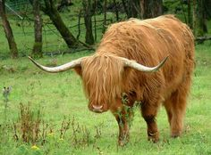 Highland cattle (also known as Hairy Coo or Hielan Coo) an ancient Scottish breed of beef cattle. - Pixdaus