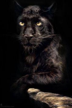 Panther Eyes by Manuela Kulpa