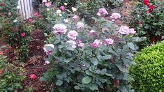 Roses that grow best. When to buy a rose bush. What is the prettiest rose? Do floribunda roses bloom all summer? How to keep a rose bush blooming. Exotic Flowers, Purple Flowers, White Flowers, Pansies, Daffodils, Yellow Roses, Pink Roses, Peonies Garden, Flowers Garden