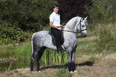 Morgan Colors- Gray Morgan Horses - Firecrest Santa Fe