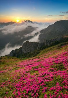 by Ioan Chiriac - Sunset with Rhododendron blossom in Ciucas mountains Romania
