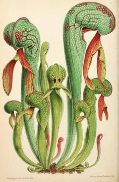 Pitcher plant, chromolithograph from 'The Floral' magazine, 1869