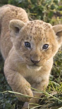 One Adorable Lion Cub.