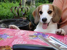 Bibi the Beagle waiting for BBQ scraps