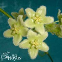 Hoya chlorantha (type) Plant