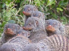 Family ties? Not mongooses, they avoid inbreeding.