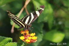 Zebra Butterfly - Isabela, Puerto Rico 2016