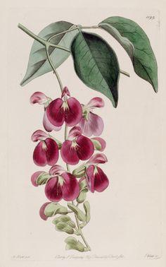 v. 14 (1828) - The Botanical register - Biodiversity Heritage Library