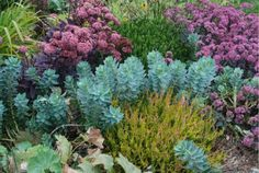 """I'm pretty sure the heather up front is """"Cuprea.' Behind it is Euphorbia myrsinites (planted from seed) and sedum. I'm not sure what that Heather in the back is. From my Catskill garden."""