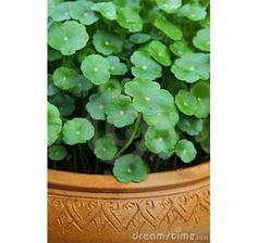 Centella asiatica / Gotu Kola, K9 Gotu Kola, Parsley, Ale, Herbs, Plants, Ale Beer, Herb, Plant, Ales