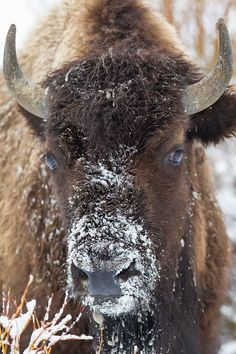 Snow faced American Bison  This rare moment, captured by National Geographic award winning wildlife photographer Rob Daugherty, is a priceless