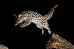 Wild Genetta jumping in the forest - Smithsonian photo contest