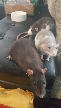 I told the girls to hold still for 1 picture. Sometimes they listen #aww #cute #rat #cuterats #ratsofpinterest #cuddle #fluffy #animals #pets #bestfriend #ittssofluffy #boopthesnoot