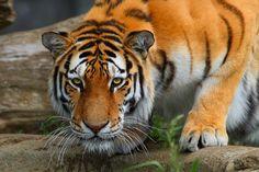Tiger - Altaic Warrior   Flickr - Photo Sharing!