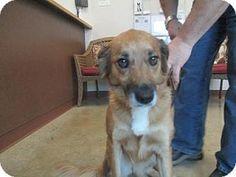 Irving, TX - Border Collie/Australian Cattle Dog Mix. Meet Molly, a dog for adoption. http://www.adoptapet.com/pet/17082444-irving-texas-border-collie-mix