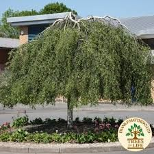 Image result for weeping silver birch tree