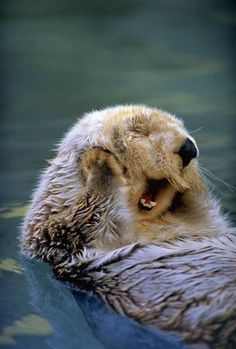 This cute picture of the otter causes a cool reflection in the water of the otter and also captures the motion of the otter yawning.
