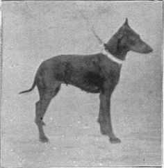 Lieut. Colonel Dean's Black and Tan Terrier Beswick Beauty