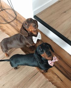 """Awesome """"dachshund puppies"""" info is available on our web pages. Have a look and you wont be sorry you did. Funny Dachshund, Dachshund Puppies, Weenie Dogs, Dachshund Love, Cute Puppies, Cute Dogs, Dogs And Puppies, Dachshund Clothes, Dachshund Gifts"""